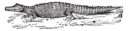 herpetology: Alligator, vintage engraved illustration. Dictionary of words and things - Larive and Fleury - 1895. Illustration