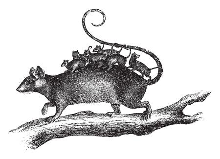 opossum: Philander, vintage engraved illustration. La Vie dans la nature, 1890.