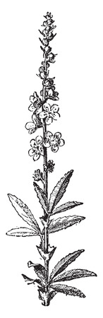Agrimony, vintage engraved illustration. Dictionary of words and things - Larive and Fleury - 1895. Illustration