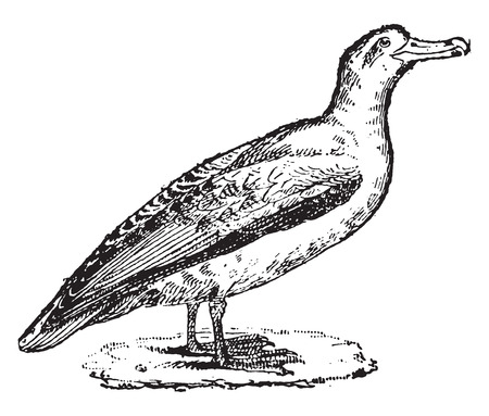 albatross: Albatross, vintage engraved illustration. Dictionary of words and things - Larive and Fleury - 1895.