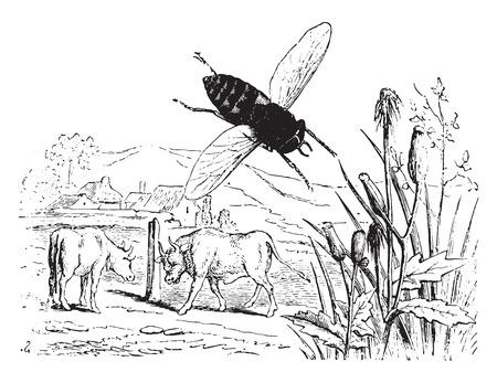 gadfly: Gadfly oxen, vintage engraved illustration. La Vie dans la nature, 1890.