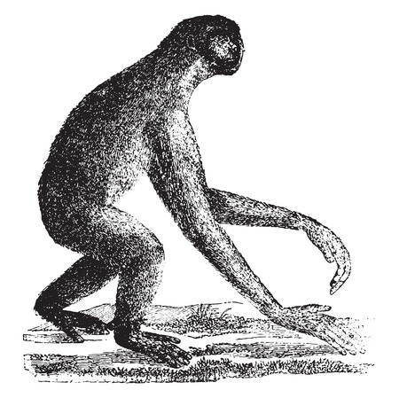 apes: The siamang, gibbon ape of the Miocene period, vintage engraved illustration. Earth before man – 1886.