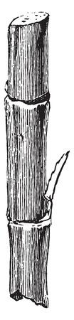sugarcane: Section cane, vintage engraved illustration. Industrial encyclopedia E.-O. Lami - 1875.