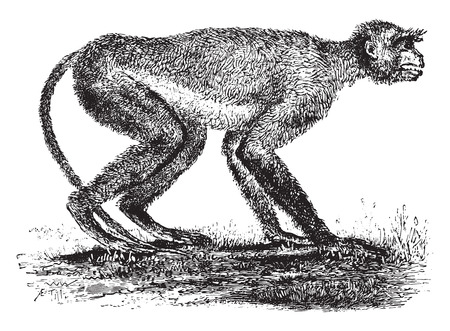primate biology: Langur monkey of the Miocene period in Greece, vintage engraved illustration. Earth before man – 1886.