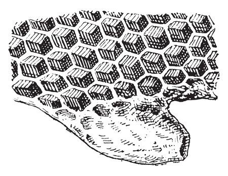 alveolos: Los alvéolos, vintage grabado ilustración. Diccionario de palabras y las cosas - Larive y Fleury - 1895. Vectores