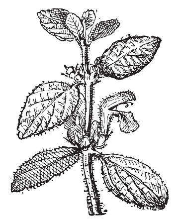 wort: Motherwort, vintage engraved illustration. Dictionary of words and things - Larive and Fleury - 1895.