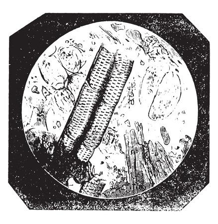 大型の細胞と血管に傷を持つ純粋なチコリは、ヴィンテージには、図が刻まれています。産業百科事典 e. o.ラミ - 1875年。