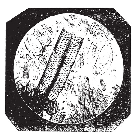 big size: Pure chicory with large cells and vessels scratched, vintage engraved illustration. Industrial encyclopedia E.-O. Lami - 1875.