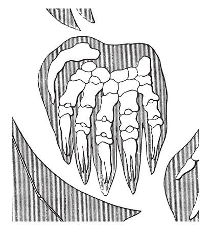 phalanges: Taupe, vintage engraved illustration. Earth before man – 1886. Illustration