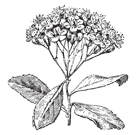 tree service pictures: Service tree or sorbus domestica, vintage engraved illustration. Dictionary of words and things - Larive and Fleury - 1895.