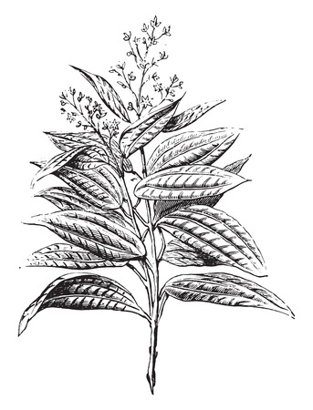 Ceylon cinnamon, flowers and leaves, vintage engraved illustration. Industrial encyclopedia E.-O. Lami - 1875. Çizim
