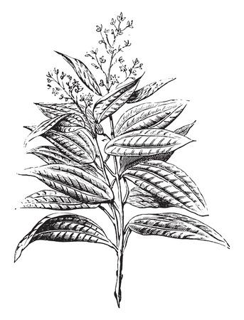 Ceylon kaneel, bloemen en bladeren, vintage gegraveerde illustratie. Industriële encyclopedie E.-O. Lami - 1875.