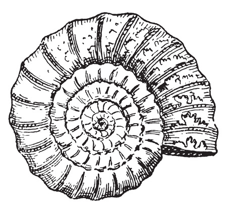 Ammonite, vintage engraved illustration. Dictionary of words and things - Larive and Fleury - 1895.