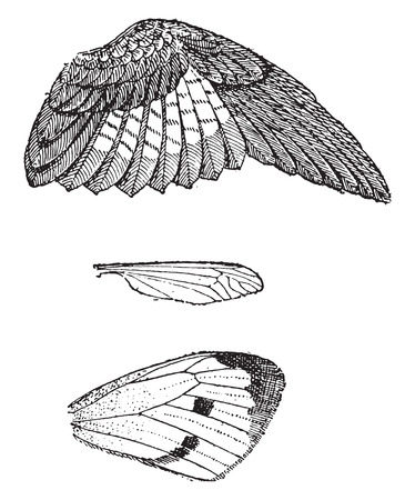 bird illustration: Wings, vintage engraved illustration. Dictionary of words and things - Larive and Fleury - 1895.