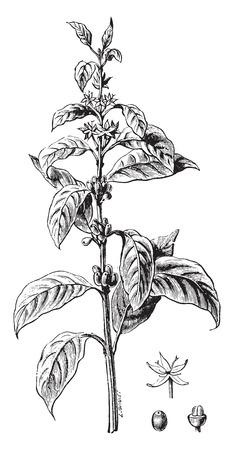 granos de cafe: Ramita de caf� flor y fruta, ilustraci�n de la vendimia grabado. E.-O. enciclopedia Industrial Lami - 1875.