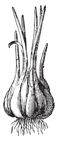 allium: Garlic, vintage engraved illustration. Dictionary of words and things - Larive and Fleury - 1895.