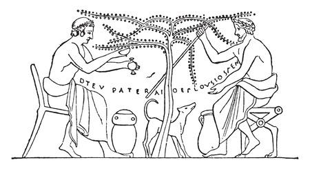 vasi greci: Le olive raccolte a mano, vintage illustrazione inciso.