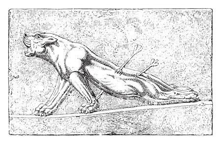lioness: Wounded lioness, vintage engraved illustration. Illustration