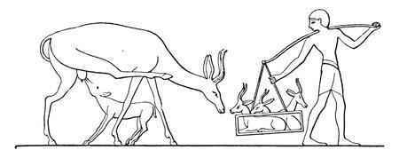 domesticity: Gazelle domesticity, vintage engraved illustration.