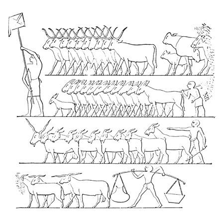 On behalf of cattle, vintage engraved illustration.