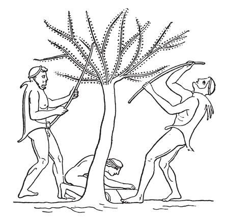 Olive harvest with saplings, vintage engraved illustration. Ilustração