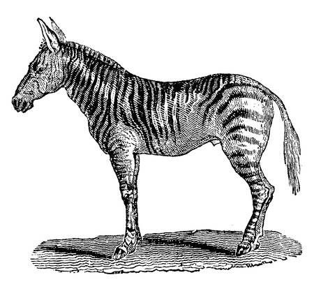 burchell: Burchells zebra, vintage engraved illustration. Natural History of Animals, 1880.
