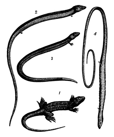 art: Transformation of species, Falling legs. 1. Lizard vulgar, 2.s Skink, 3. Splined The lizard, 4. Monodactyle The lizard, vintage engraved illustration. Earth before man – 1886. Illustration
