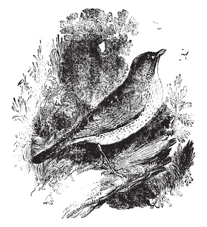 thrush: Bicknells thrush, vintage engraved illustration. Illustration