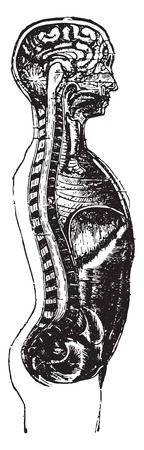 torso: Vertical section of the head and the mans trunk, vintage engraved illustration.
