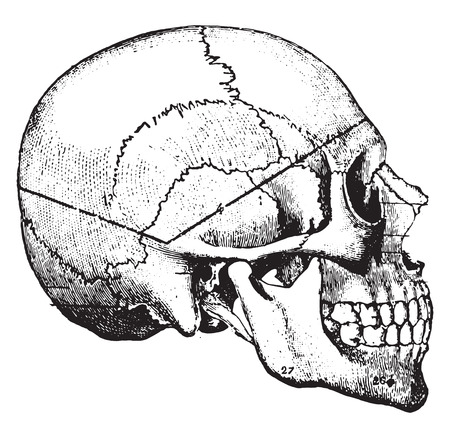 human head: Heavy line indicating course taken by saw-cut in so called undertakers method, vintage engraved illustration. Illustration