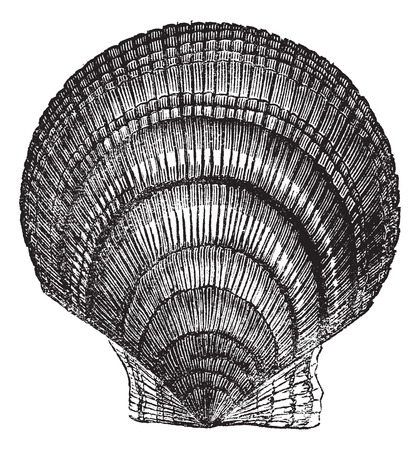 mollusc: Chlamys islandica or Iceland scallop, vintage engraving. Old engraved illustration of Chlamys islandica isolated on a white background. Illustration