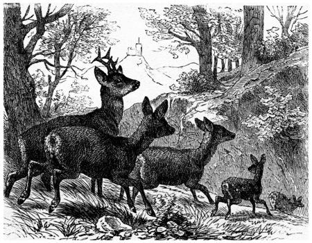 Deer, Jahrgang gravierte Darstellung. La Vie dans la nature, 1890. Standard-Bild