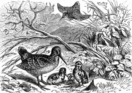 wade: A family of woodcock, vintage engraved illustration. From La Vie dans la nature, 1890.