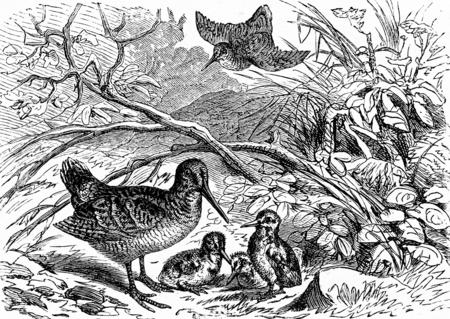 A family of woodcock, vintage engraved illustration. From La Vie dans la nature, 1890.