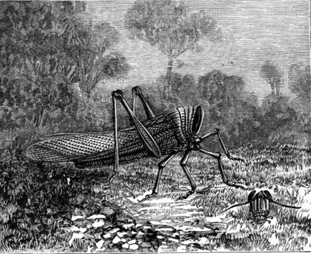 caelifera: Grasshopper beheaded, living in a fortnight, vintage engraved illustration. Earth before man – 1886.