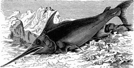 El pez espada, cosecha ilustración grabada. La Vie dans la nature, 1890. Foto de archivo - 42943615