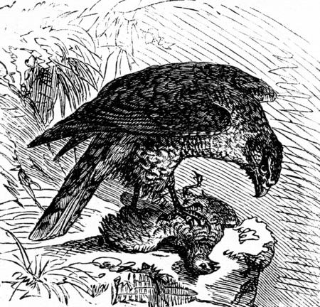 sparrowhawk: Goshawk, vintage engraved illustration. La Vie dans la nature, 1890.