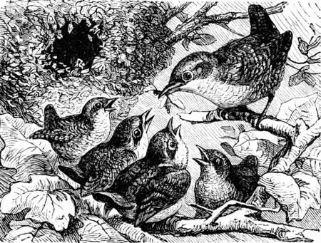 arboles blanco y negro: Una familia de reyezuelos, ilustración de la vendimia grabado. La Vie dans la nature, 1890. Foto de archivo