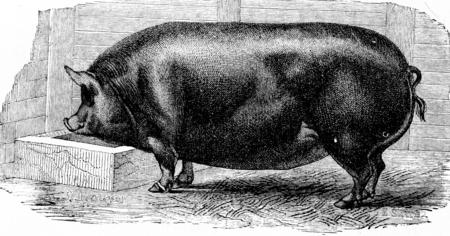 omnivore animal: Pig, vintage engraved illustration. Natural History of Animals, 1880.