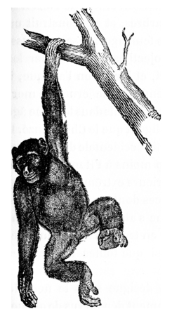 Troglodyte chimpanzee robust chimpanzee, vintage engraved illustration. Natural History of Animals, 1880.