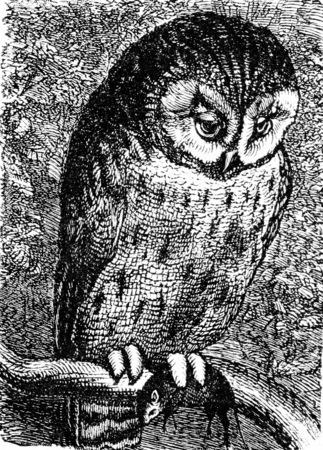 owl illustration: Owl, vintage engraved illustration. La Vie dans la nature, 1890.