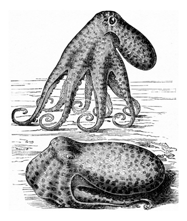 black octopus: Octopus (Octopus vulgaris), vintage engraved illustration. La Vie dans la nature, 1890.