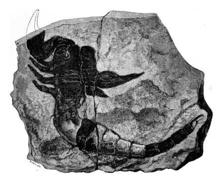 The oldest known land animal. Scorpion fossil found in 1884 in the Silurian, vintage engraved illustration. Earth before man – 1886.