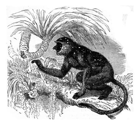 proboscis: Proboscis monkey langur, vintage engraved illustration. Earth before man – 1886. Stock Photo