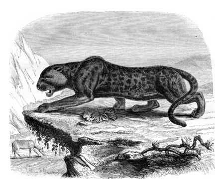 alertness: The black panther, a menagerie of the Museum of Natural History, vintage engraved illustration. Magasin Pittoresque 1842.