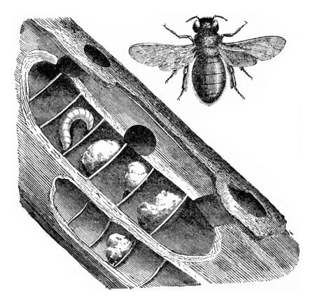 Xylocopa violocopa, vintage engraved illustration.