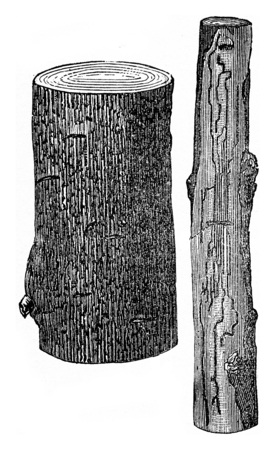 Damage products on the Oak by the Scolytus intricatus, vintage engraved illustration.