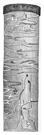 larval: Trunk spruce presenting the Molorchus minor larval galleries, vintage engraved illustration.