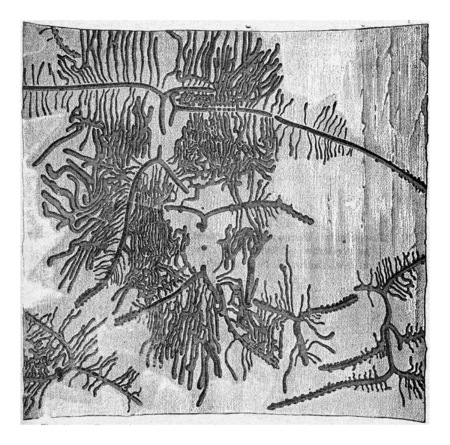 Pine bark with galleries Tomicus curvidens, vintage engraved illustration.
