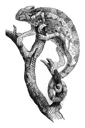 카멜레온, 빈티지 새겨진 된 그림입니다. Magasin Pittoresque 1845. 스톡 콘텐츠